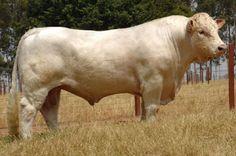 Touro Charoles - we had a Charoles bull named Bacon