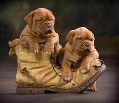 Dogue De Bordeaux / Bordeaux Mastiff / French Mastiff / Bordeauxdog