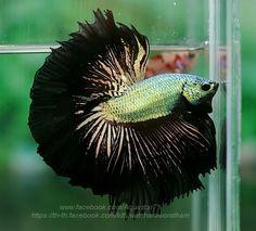 Copper black dragon