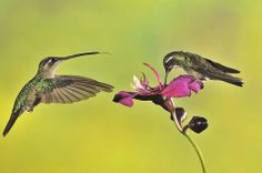 Female Magnificent Hummingbird (Eugenes fulgens) and male White-throated Mountain-gem (Lampornis castaneoventris; right)