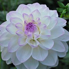 "Eveline Dahlia (4-6"" bloom; 3' bush): white with lilac edges; decorative."
