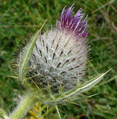 Just Seed British Wild Flower - Woolly Thistle - Cirsium eriophorum - 50 Seed by Just Seed, http://www.amazon.co.uk/dp/B0084C86VQ/ref=cm_sw_r_pi_dp_Y.fyrb1EKTMQN