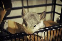 How to Tame Your Chinchilla in 12 Easy Steps