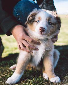 Kylo the 8wk old Australian Shepherd pup!  #ZilkerBark #puppydogmondays @that_kylo_flow by zilkerbark