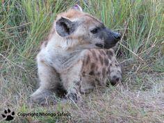 Hyena Kruger National Park, National Parks, Hyena, Polar Bear, Safari, Photos, Animals, Pictures, Animales