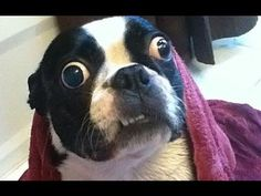 Bruschi the Boston Terrier (© Guiness World Records. World's largest dog eyes. Funny Animal Videos, Funny Animal Pictures, Funny Animals, Videos Funny, Pet Videos, Funny Images, Funny Photos, Boston Terrier Love, Funny Boston Terriers