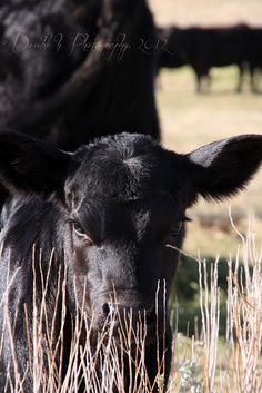 Double H Photography: Calf photos