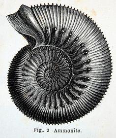 """Ammonite""."