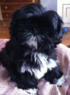Shih Tzu Puppy Pinner says: looks just like Duke! *** Be sure to learn about your pet dogs from this link.