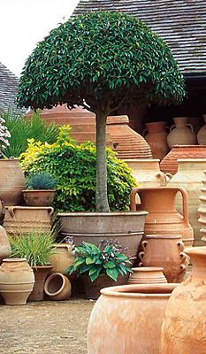 Taken From A Site That S Ing The Cretan Terracotta Pots But Topiary Is Amazing Container Gardening Pinterest Garden And