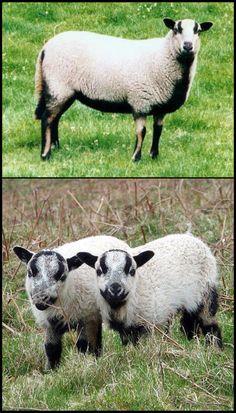 Badger faced Welsh mountain sheep Pet Sheep, Sheep Farm, Sheep And Lamb, Zoo Animals, Cute Animals, Grazing Animals, Sheep Shearing, Lamas, Sheep Breeds