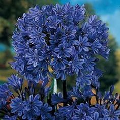 Whether you want to plant for the first time or renovate your garden, consider getting some Agapanthus Peter Pan.There are many cool things about this beautiful flower that will probably entice you. 10 Amazing Facts Of Agapanthus Peter Pan - African Lily Agapanthus Plant, Agapanthus Blue, Growing Flowers, Planting Flowers, African Lily, Flower Pot Design, Easy Care Plants, Foliage Plants, Potted Plants