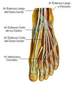 Tendinitis extensores dedos pie - Fisioterapia Eva Tello Cadarso Zaragoza. Dolor de empeine