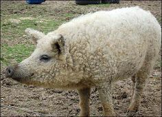 Mangalitsa is a natural breed of pigs from Europe that are descended directly from wild boar populations. The Mangalitsa pig is unusual as it grows a hairy 'fleece', akin to that of a sheep.