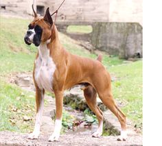 The Boxer is a highly intelligent, medium-sized square dog with clean lines and balanced proportions. He was refined and bred from ancestors in Germany called Bullenbeisers--historically used to run down and hold large, formidable game animals--bear and boar...
