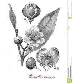 Camellia Sinensis, Botanical Vintage Engraving Stock Illustration ...
