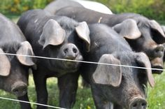 Our Large Black weaners testing the fence here on Partridge farm Large Black Pig, Black Pigs, Red River Hog, Its A Wonderful Life, Primates, Livestock, Listening To Music, Piglets, Partridge