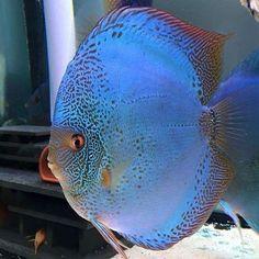 @escalar.cometarojo_2010'in bu Instagram fotoğrafını gör • 53 beğenme Tropical Freshwater Fish, Tropical Fish Aquarium, Home Aquarium, Freshwater Aquarium Fish, Cichlid Aquarium, One Fish Two Fish, Discus Fish, Pet Fish, Angel Fish