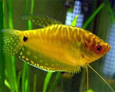 Gold Gourami  Labyrinth