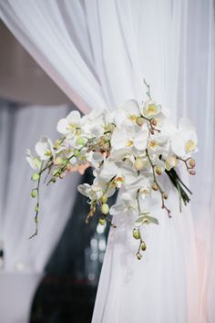 Phalaenopsis Curtain 'Belt'