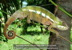 Panther chameleon, Furcifer pardalis, near Mananara in Madagascar