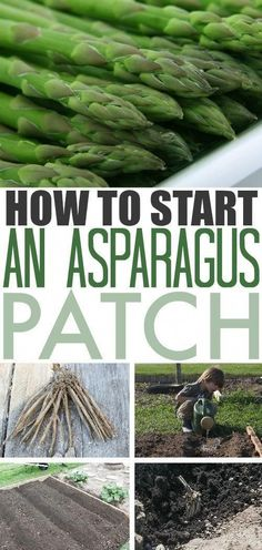 Asparagus is a great addition to any backyard garden. Once you get it established it will continue to provide for you every spring with very little effort required to keep it happy and healthy. Read on for more details on how you can plant asparagus in yo Gardening For Beginners, Gardening Tips, Flower Gardening, Gardening Books, Gardening Services, Gardening Supplies, Gardening Websites, Fairy Gardening, Gardening Gloves