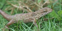 Jamaican Croaking Lizard