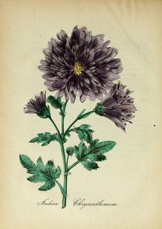 Chrysanthemum from the American Flora