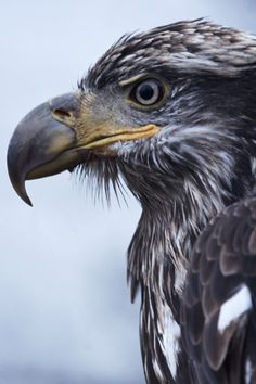 GOLDEN EAGLE, regal and fierce, in HAINES, ALASKA at Alaska State Parks' Bald Eagle Preserve, established to protect the world's largest concentration of eagles and their critical habitat. Learn more at http://www.examiner.com/article/go-photograph-eagles-haines-alaska-spectacular-viewing
