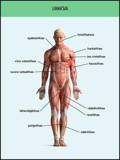 Etupuolen lihakset suomeksi