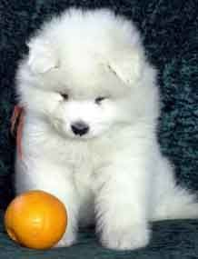 Samoyed puppy!