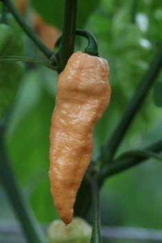 Naga Bhut Jolokia (Ghost) Scorpion (Jay's PEACH) (The Chilli Factory's) Genus: Capsicum Chinense. Origin: N/A. Heat: 12/10. Scoville: N/A. Height: N/A.