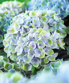 Hydrangea 'Magical® Revolution Blue' | Trees and Shrubs from Spalding Bulb