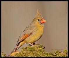 Northern cardinal - Cardinalis cardinalis; Female bird pictured.
