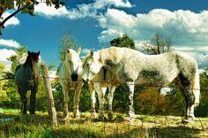 amish-work-horses-dick-wood.jpg (900×597)