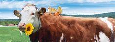 Vegan Society, Vegan News, Veganism, Timeline, Cruelty Free, Cow, History, Animals, Historia