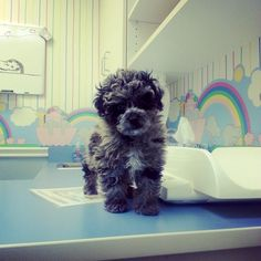 Izzy's first vet visit. (Izzy the Cockapoo)