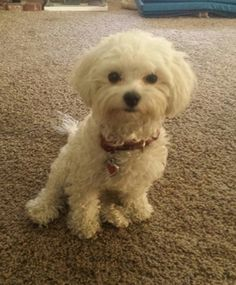 Stolen Maltese in Palmdale, CA USID# 468521Coco Female  White  Maltese & Poodle Mix  Palmdale (93550) Lost on 10/17/2015