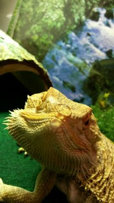 Bearded Dragon balancing a bead of water on its nose - this is a way to water them