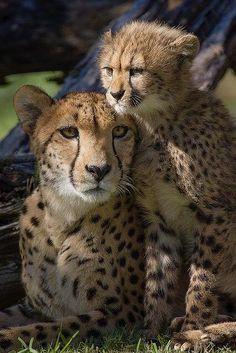 Cheetah and cub                                                                                                                                                                                 Mais