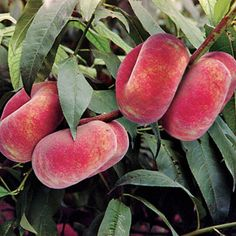 Galaxy Peach Tree - This Chinese Peach tree grows quickly and fruits heavily, even if you plant only one. Its a doughnut-type Peach that delivers at least 50 lbs. of 3 in. wide, 5 to 6 oz. fruit a year. Reaches 10 to 12 ft tall within 5 years of planting, Fruit Plants, Fruit Garden, Edible Garden, Fruit Trees, Trees To Plant, Peach Tree Care, Peach Trees, Donut Peach, Beautiful Fruits