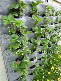 Plants On Walls Vertical Gardens: Strawberry Walls Showing New Roots