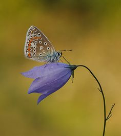 Female Common Blue by John Starkey, via 500px