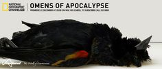 END OF THE WORLD- OMENS OF THE APOCALYPSE - Premieres Sunday,  02 December at 20:00 on NGC HD (Ch805) The year 2011 gets off to a disturbing start. On New Year's Eve, blackbirds die in Beebe, Arkansas by the thousands. Nearby, fish and more birds perish. Then a wave of unsettling animal deaths seems to sweep the globe. Are the deaths connected?
