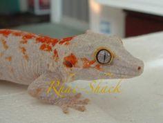 Rhacodactylus auriculatus #gecko #geckos #rhacodactylus #caledonia #caledonian #lizards #reptiles