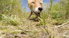 THIS CURIOUS FOX EATS A 'GO PRO CAMERA' hahaha!! *leave the wildlife alone and they'll leave      you alone!!