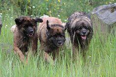 Three Leonberger Dogs