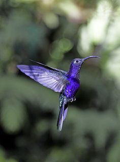 The Violet Sabrewing Hummingbird (Campylopterus hemileucurus) is a very large hummingbird native to southern Mexico and Central America as far south as Costa Rica and western Panama. The female Violet Sabrewing lays its two white eggs in a relatively large cup nest on a low horizontal branch, usually over a stream. The Violet Sabrewing is 15 cm long; the male weighs 11.5 g and the female 9.5 g. It is the largest hummingbird found outside of South America and the largest sabrewing.