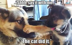 Welcome to our funny German Shepherd dog memes gallery! Funny Animal Jokes, Funny Dog Memes, Funny Animal Pictures, Cute Funny Animals, Animal Memes, Cute Baby Animals, Funny Dogs, Dog Pictures, Rabbit Pictures