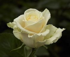 Sandy Femma - Standard Rose - Roses - Flowers by category | Sierra Flower Finder